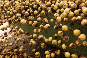 Früchte der Pfau Brennerei - Valentin Latschen - Marktplatz Mittelkärnten