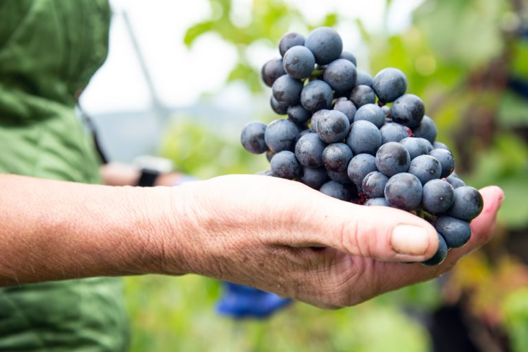 Weintrauben im Weingut Taggenbrunn